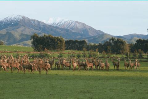 authenticity of deer velvet